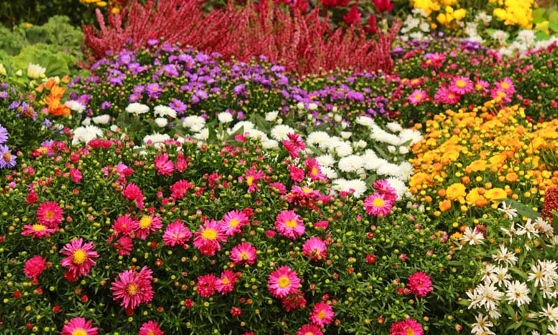 Colorful-Flowers-for-Autumn-Gardens