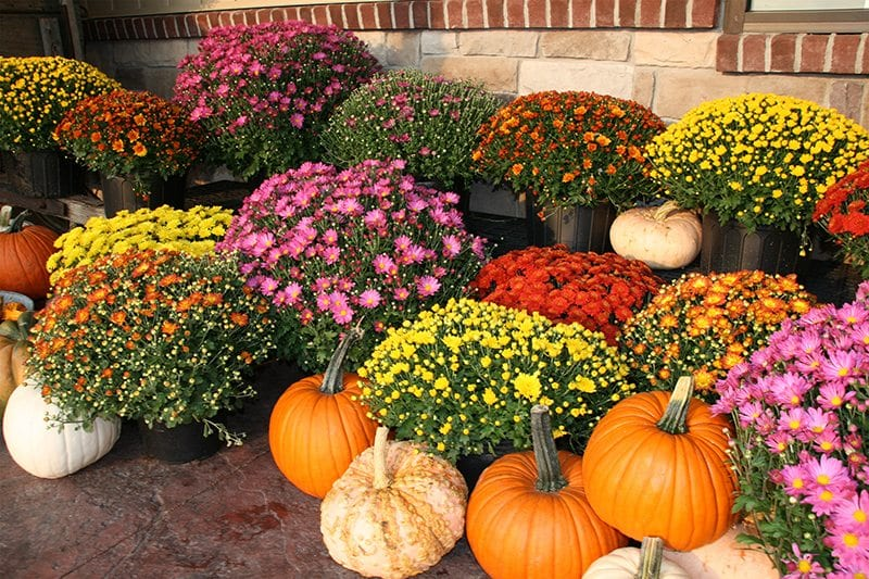 Mums Display with Pumpkins and Gourds