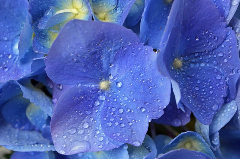 Closeup of Blue Hydrangeas