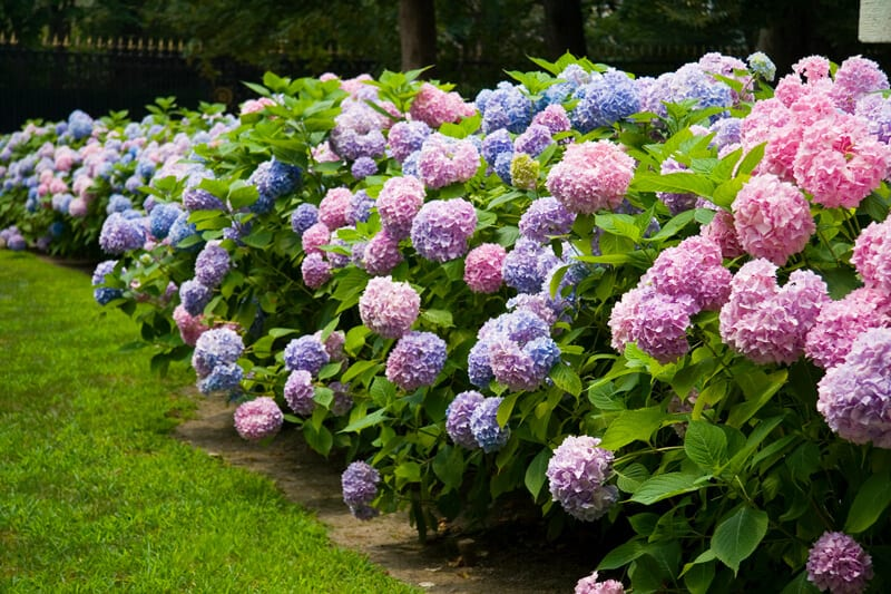 Long Row of Pink Purple and Blue Hydrangeas