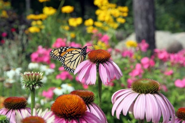 Purple Coneflower Monarch Butterfly