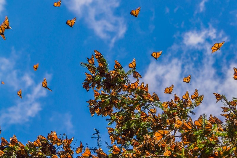 Monarch Butterflies tree branch blue sky background Mexico