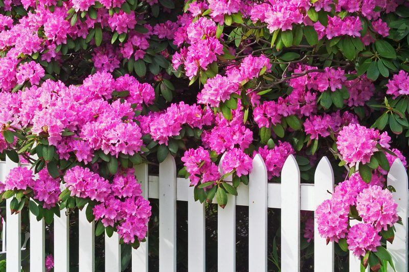 Rhododendrons Picket Fence