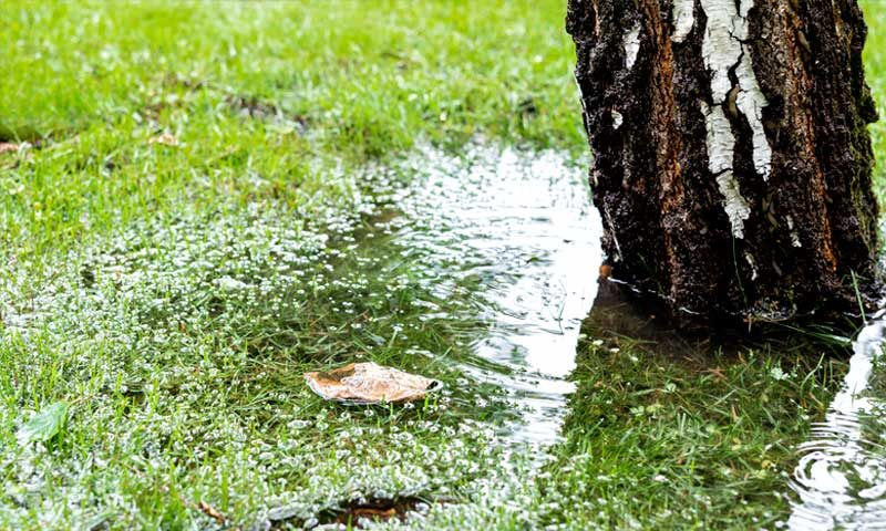 Tree in standing water due to drainage problem
