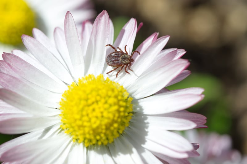 Tick on a daisy