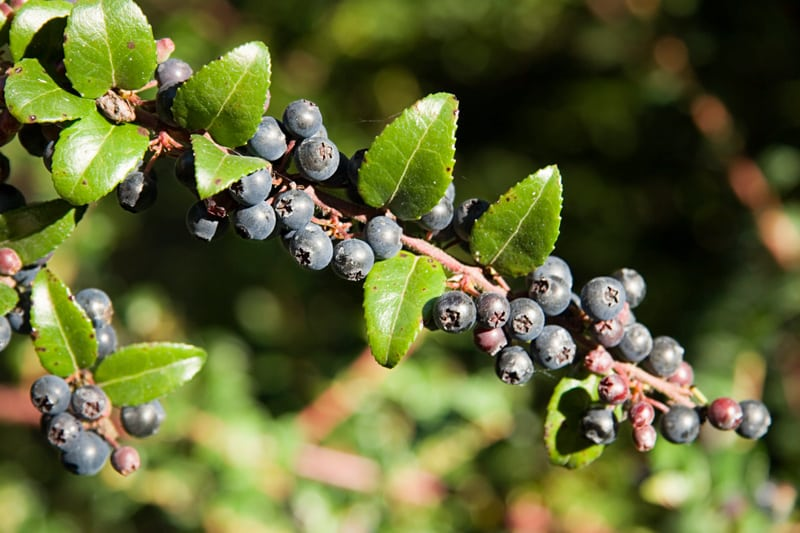 Huckleberry Branch with Berries
