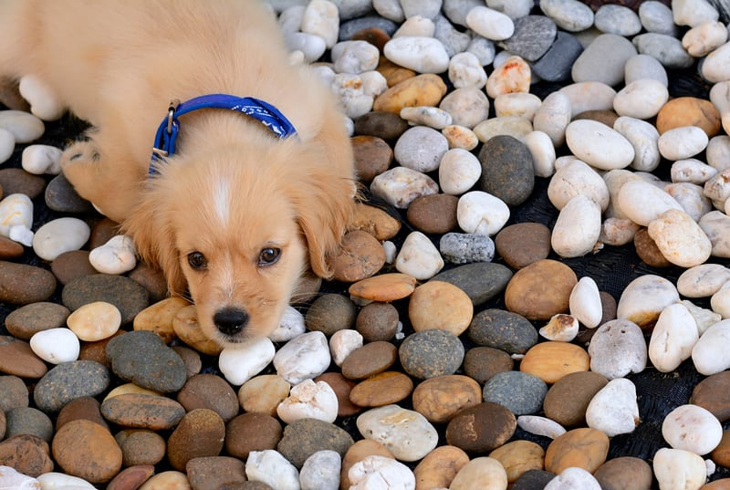 Cute Puppy Lying on Landscaping Stone