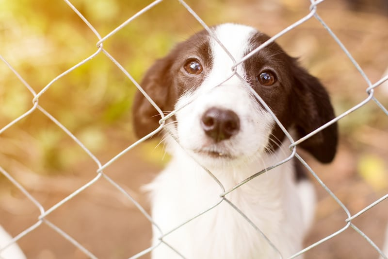 Young Dog Looking Through a Fence