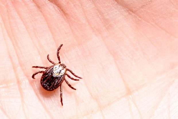 Closeup of a tick on the palm of a hamd