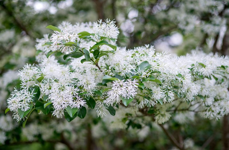 Best exotic and specimen trees to grow in new jersey white fringe tree mightylinksfo